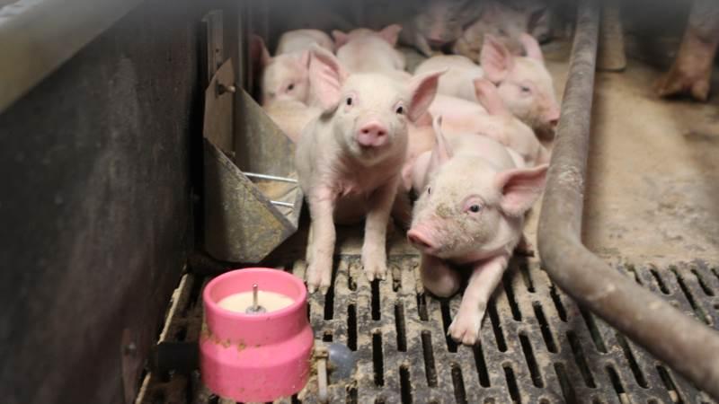 Ifølge salgskonsulent Morten Sloth Pedersen fra foderfirmaet Nutrimin, peger flere dyrlæger på en mulig sammenhæng mellem et stort optag af mælk fra mælkekop-anlægget og pattegrises evne til at omsætte det syntetiske E-vitamin, der ofte findes i mælkeerstatning. Det fortæller konsulenten om i det seneste Nutrimin Ugenyt. Arkivfoto