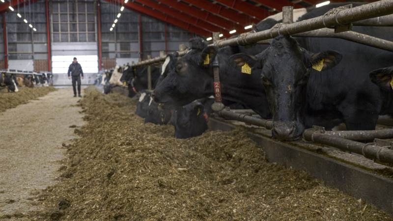 Fremover skal Thise-mælkeproducenterne fodre med danskproducerede afgrøder. Et initiativ som på 35 minutter fik samlet en million kroner ind fra forbrugerne via crowdfunding.