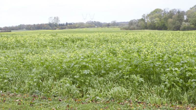 Også i 2021 er indsatsbehovet i den målrettede regulering så stort, at der er behov for 374.000 hektar efterafgrøder. Foto: Erik Hansen