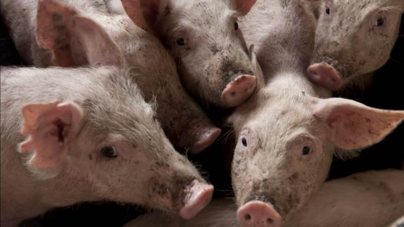 Leverandører af slagtesvin til Danish Crown kan forvente at få 11,00 kroner pr. kg for slagtesvin i vægtklassen 72 til 96,9 kg. Foto: Colourbox