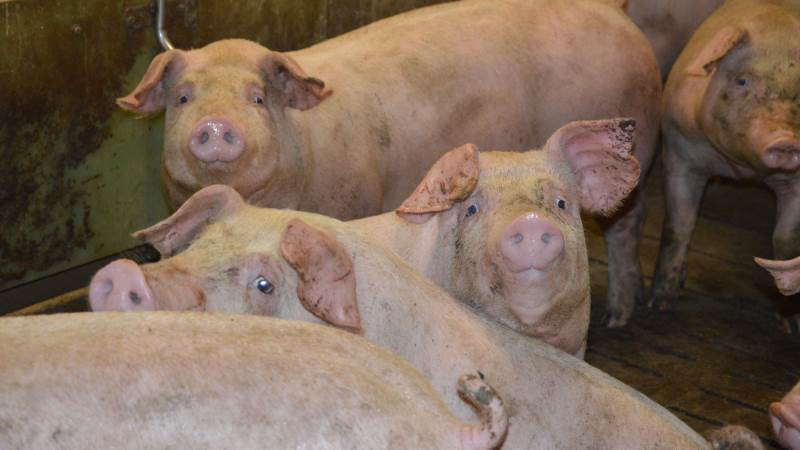 Få nogle af de mange gode råd fra Produktionskoncept Slagtesvin, når Seges Svineproduktion inviterer til gratis webinar fredag den 28. maj. Arkivfoto: Camilla Bønløkke