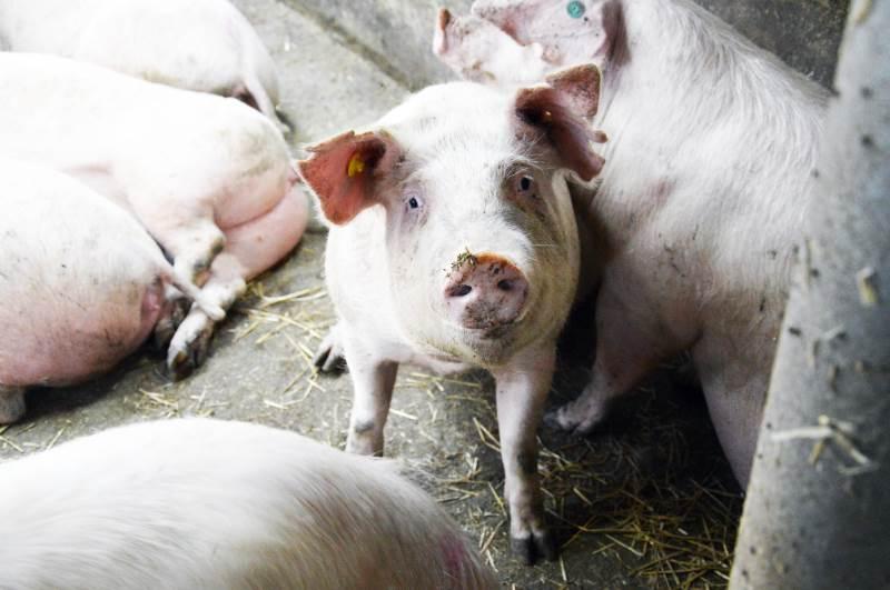 Poltene skal fodres restriktivt senest fra de vejer 65 kg. Har man rørfodringsautomater (ad libitum-fodring), bør det ifølge Jette Sandager stærkt overvejes at ændre det til gulvfodring.