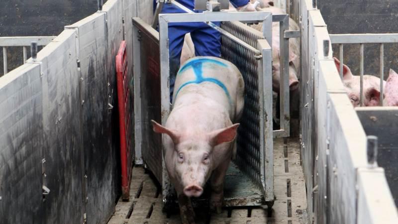 Ifølge faglig rådgiver i Danish Crown Ejerservice, Kristian Jensen, kan ugerapporten med fordel sendes automatisk til de relevante personer på bedriften, så dem, der eksempelvis står med udvejning af grise, kan få den tilsendt direkte som en opfølgning på seneste uges resultater. Arkivfoto