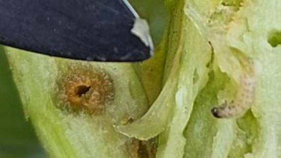 Generelt er der i øjeblikket få insekter i rapsen. Men bladribbesnudebillens larve er set og flere steder behandlet med Avaunt, som også virker mod glimmerbøsser. Fotos: Agriadvice