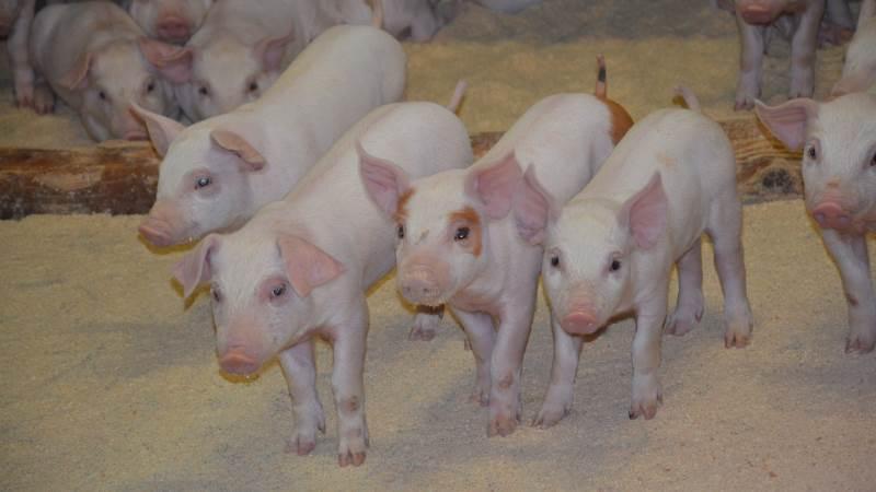 Behovet for zink til de nyfravænnede grise er cirka ni gange højere end anbefalet. Det var blandt andet konklusionen i et indlæg ved årets Fodringsseminar. Arkivfoto