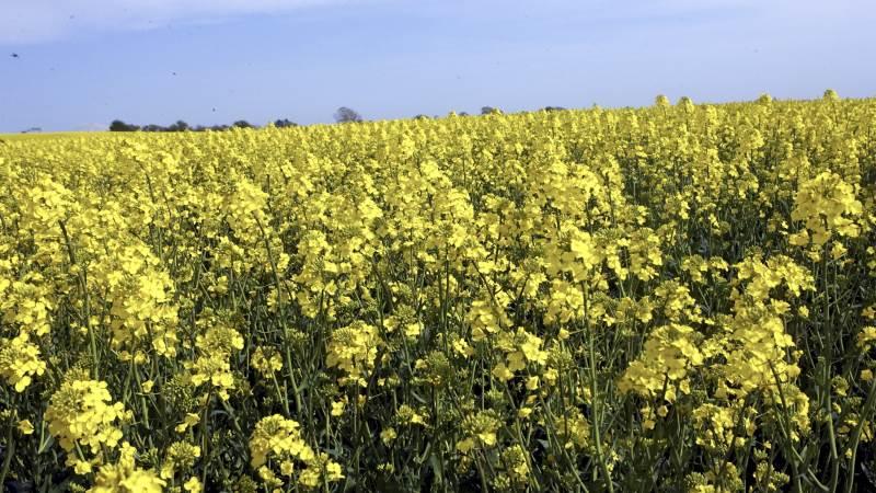 Det fugtige vejr øger risikoen for angreb af knoldbægersvamp, gråskimmel og skulpesvamp i vinterraps. Det bedste tidspunkt for bekæmpelse er stadie 65, hvor 50-60 procent af blomsterne i hovedskuddet er sprunget ud. Arkivfoto: Erik Hansen.