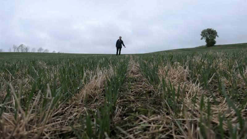 Her er hverken spring i rækkerne eller skyggen af erosion på de stærkt skrånende marker. Bente Andersen er særdeles godt tilfreds med CA-etablering af vårhveden på Svejstrup Østergård. Fotos: Bøje Østerlund