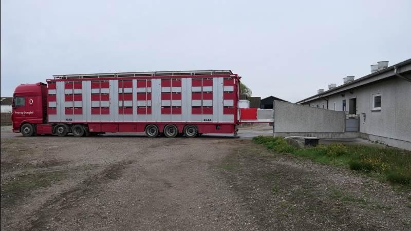 Direkte fra stien til bilen. Med egen grisetransporter sparer man på Svejstrup Østergård udleveringsrummet, og grisene kan forblive i samme kendte flok efter flytningen. Fotos: Bøje Østerlund