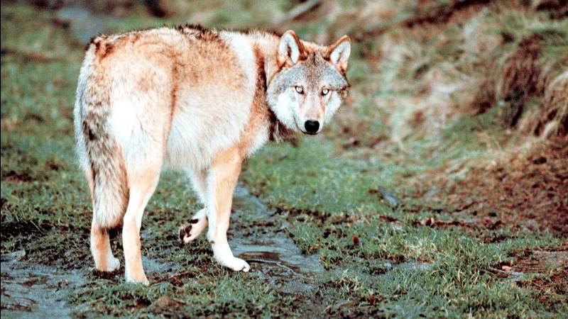 En stor del af de forsvundne ulve  er blevet skudt, mener en gruppe forskere.