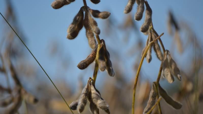 Miljøorganisationen Verdens Skove mener, at der skal skrues op for mere direkte foderprodukter med soja i stedet for dyrefoderproduktion, for at lette presset på især den sydamerikanske regnskov. Foto: Pixabay