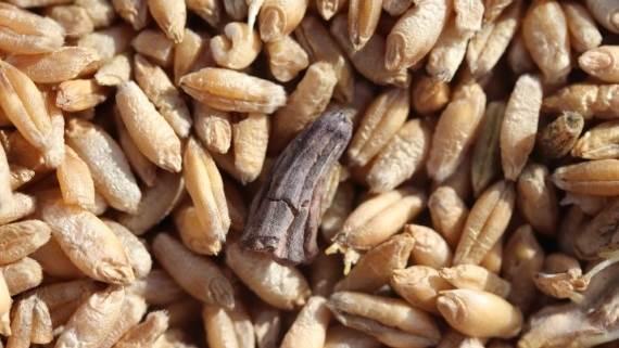 Et stykke af en meldrøje i nyhøstet rug. Meldrøjerne er giftige og kan ifølge Seges forårsage hale- og ørenekroser hos svin og reduceret foderoptagelse, abort og mælkemangel hos søer. Foto: Seges