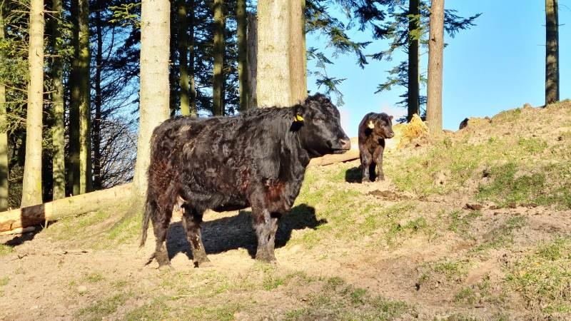Welsh Black-kvæget hos Høbbet A/S er gennem flere år blevet DNA-testet samtidig med, at de har fået øremærker i.