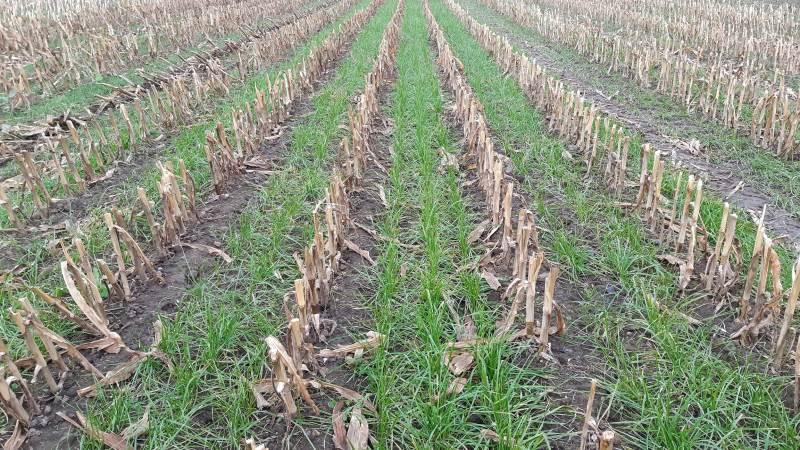 Sår man sent, omkring majsens 9. bladstadie, er det bedst at så italiensk rajgræs. Det bør man ikke vælge, hvis man sår tidligt, da det så bliver for kraftigt.