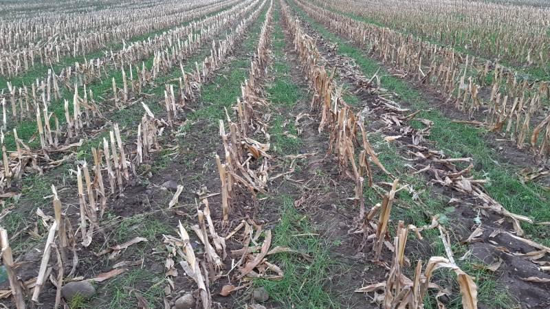Almindelig rajgræs af plænetype giver ringe plantedække ved især sen såning, og det er usikkert, om man kan opnå kravet om 40 procent plantedække, som er gældende i det sene efterår for visse typer efterafgrøder.