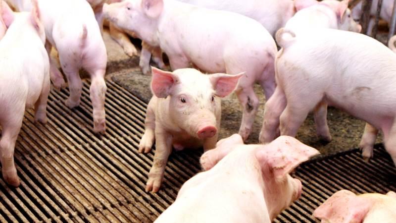 - Set i forhold til de generelle betingelser for dansk svineproduktion er resultatet tilfredsstillende, skriver de i regnskabet. Foto: Anne Wolfenberg