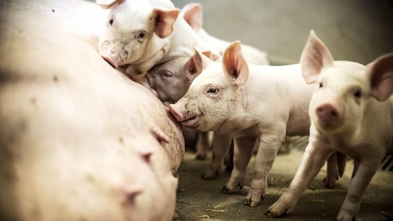 Leverandører af slagtesvin til Danish Crown kan forvente at få 11,90 kroner pr. kg for slagtesvin i vægtklassen 72 til 96,9 kg. Foto: Jesper Rais/AU Kommunikation