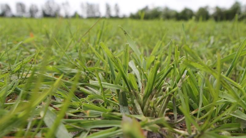 Grønrug skal græsses tættere end kløvergræs. Fotos: Christian Carus