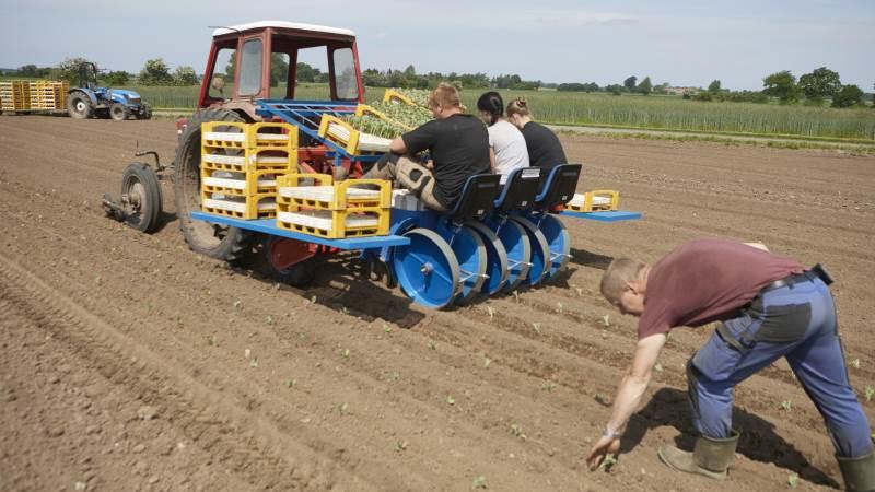 I forrige uge som der fortsat plantet blomkål på Gartneriet Toftlund. Bemærk er MF-traktoren styres fra medarbejderne på den nye plantemaskine.
