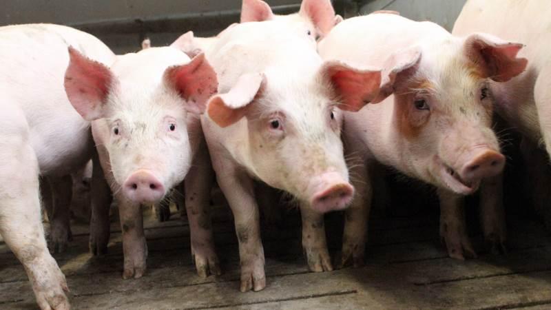 Modsat tidligere har sommeren ikke påvirket prisen på svinekød eller noteringen i 2021. Foto: Lasse Ege Pedersen