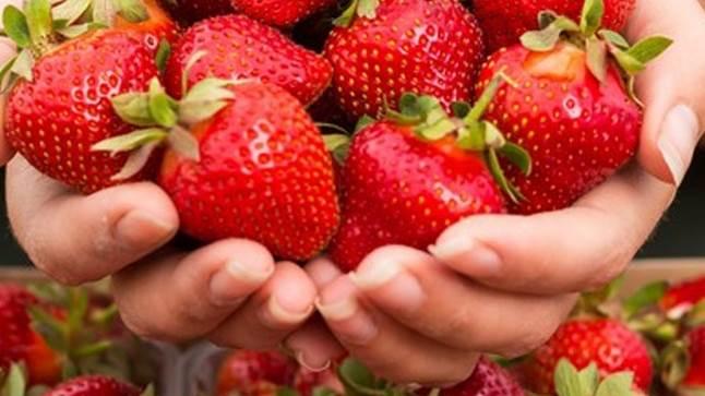 Biotalys bruger naturlige processer til brug i kampen mod svampe, bakterier og insekter, der angriber afgrøder som jordbær. Foto: Biolatys