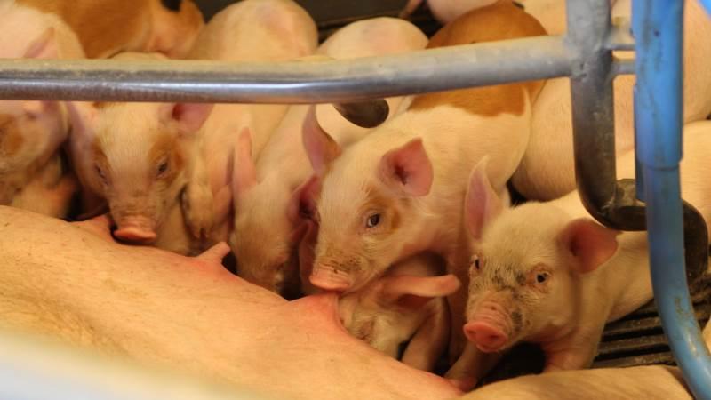 Som ung landmand skal man kunne bevise, at man for eksempel kan lave 35 grise pr. årsso, hvis man skal kunne være troværdig i forbindelse med et generationsskifte, mener Agrovi-direktøren. Foto: Christian Carus