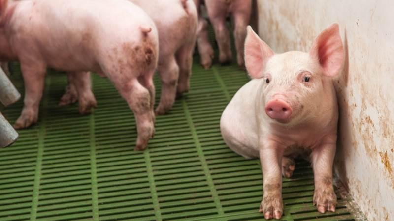 Leverandører af slagtesvin til Danish Crown kan forvente at få 11,30 kroner pr. kg for slagtesvin i vægtklassen 72 til 96,9 kg. Foto: Artem Merzlenko