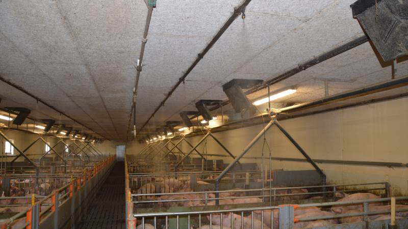 Overbrusning af spaltegulvet kan have flere funktioner og medvirke til markering af gødearealet, renholdelse af spaltegulvet og termoregulering af grisene. Arkivfotos: Camilla Bønløkke