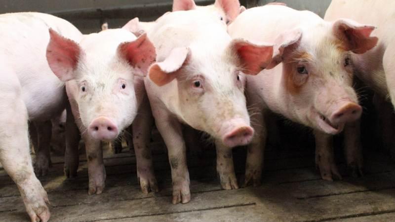 - Soholdet kom ud med et resultat på 34,1 gris per årsso, hvilket er det højeste resultat for Bjerregård, fremgår det af årsrapporten. Foto: Lasse Ege Pedersen