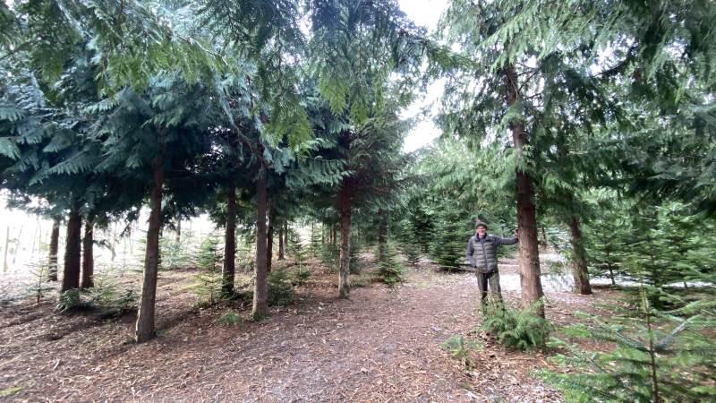 Thuja underplantet med ædelgran kun 18 år gamle i Søren Paludans egen skov, Kærehave skov