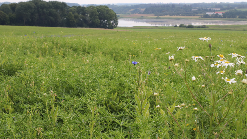Lars Olsen tror på, at økologiske proteinafgrøder har en stor fremtid. Her er det lupiner.