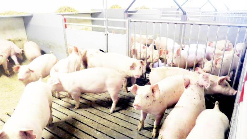 Der vil også i fremtiden være brug for svinekød globalt.