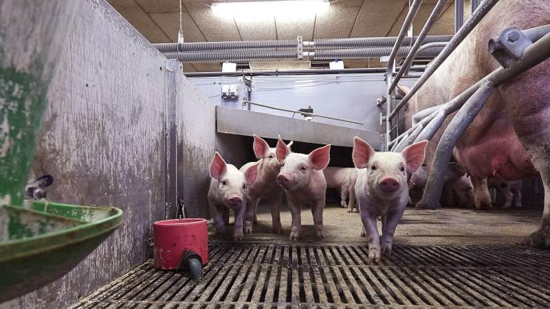 Der har ikke været meget aktivitet hos Scandinavian Farm Invests svineproduktion i 2020. Og det kan ses på regnskabet. Arkivfoto