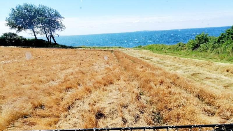 Rødsvinglen tærskes i denne uge i den østlige del af landet. Holder det lovede højtryk sig over Danmark, følger flere landsdele og græsarter snart efter. Arkivfoto.