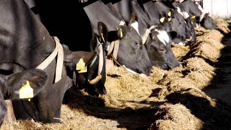 Hvis kvægfoderet skal stabiliseres i sommervarmen, anbefaler Seges, at konventionelle mælkeproducenter bruger blandingsprodukter med 90-95 procent kaliumsorbat. Arkivfoto