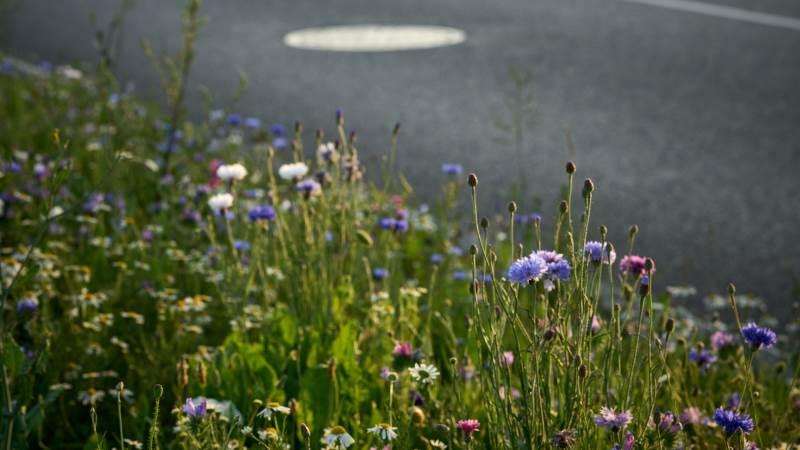 Blomsterne står i fuldt flor på Aarhus Havn denne sommer, og er med til at styrke biodiversiteten i Danmark. Pressefoto