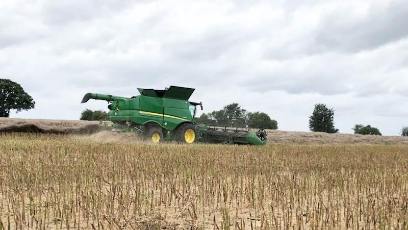 Man kan enten høste vinterraps direkte eller skårlægge eller nedvisne afgrøden først. Direkte høst skal gennemføres, når frøene er sorte. Det vil oftest være 10-14 dage efter det normale tidspunkt for skårlægning. Arkivfoto: Carl Johan Schultz