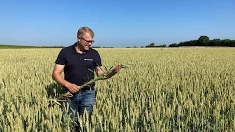 Peter Ditlevsen, produktkonsulent Vestjyllands Andel ser en del septoria rundt i landet i disse dage. Værst ser det i det jyske omkring Haderslev.