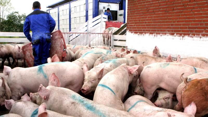 Man skal være ekstra opmærksom på grisene ved udlevering i sommervarmen, lyder det fra Danish Crown. Arkivfoto