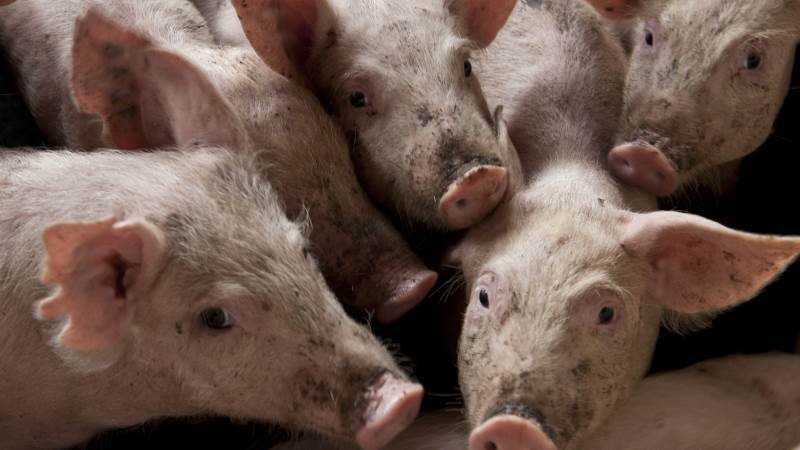 I Kina steg den lokale forsyning af svinekød med 36 procent i første halvdel af året, mens antallet af svin steg næsten 30 procent til 439 millioner i slutningen af juni. Foto: Colourbox.