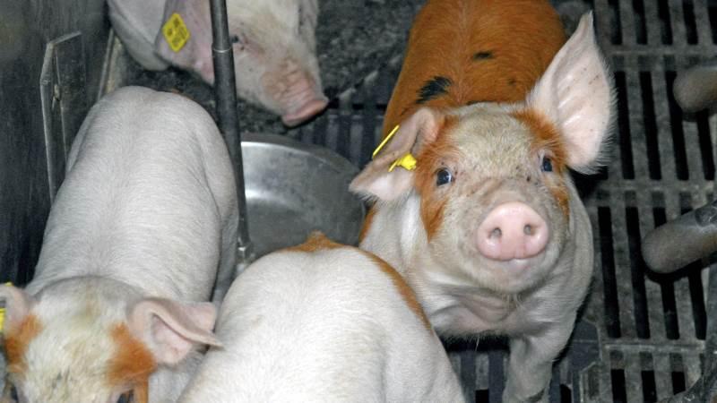 Der er mulighed for at komme på forkant med den nyeste svinefaglige viden, når Seges Svineproduktion inviterer til Fagligt Nyt den 21. og 22. september i Horsens. Arkivfoto: Camilla Bønløkke