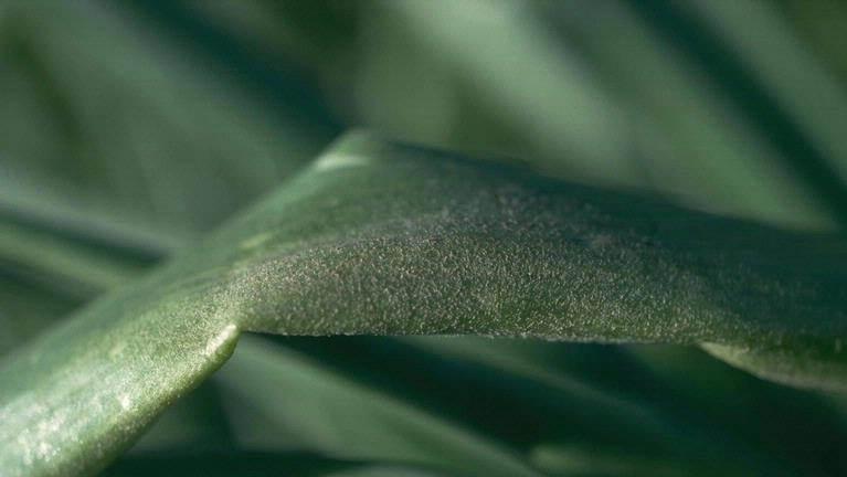 Peronospora destructor. Foto: Ka Faraq Gatri~commonswiki