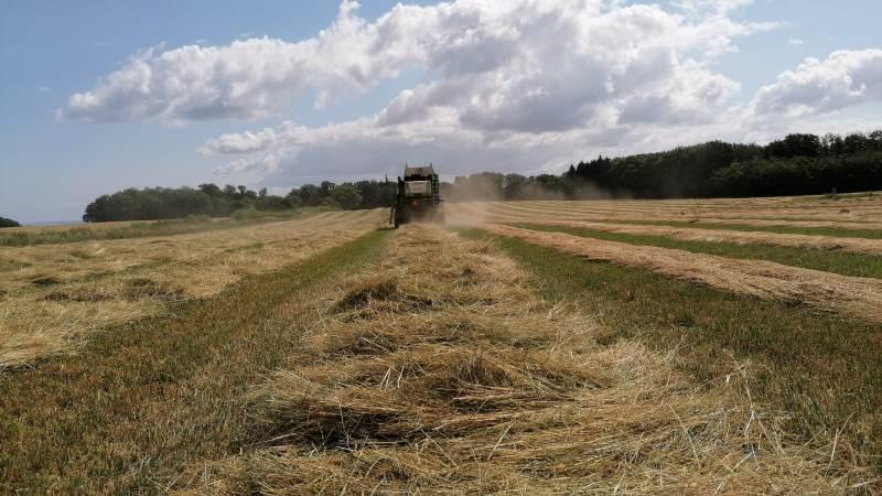 Ifølge Carsten H. Jørgensen startede årets frøhøst senere end normalt, men varmen har fremrykket høsten, så høsttidspunktet lige nu er næsten som i et normalår. Foto: Morten Ipsen.