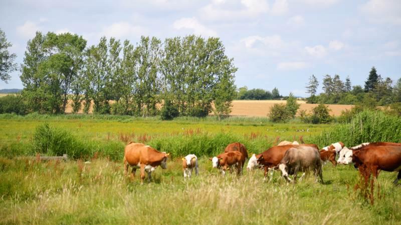 Kun i få, særligt udpegede Natura 2000-områder giver styrelsen tilskud til rydning af tilgroede arealer. Alle andre steder er det græssende kvæg vejen frem. Arkivfoto: Camilla Bønløkke