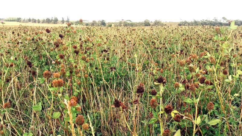 Kløvergræsmarken til slæt er central i det økologiske sædskifte, fordi den bekæmper frø- og rodukrudt og samler næringsstoffer. Kløvergræsset er derfor en rigtig god forfrugt, som sikrer nogle gode og kraftige afgrøder lige efter kløvergræsset. Arkivfoto