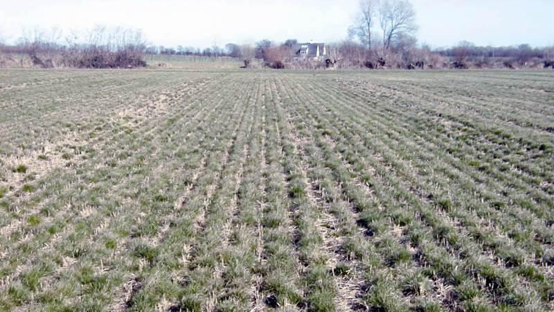 Det anbefales at så korn på dobbelt rækkeafstand – og græsudlæg i de mellemliggende rækker. Foto: Carsten H. Jørgensen