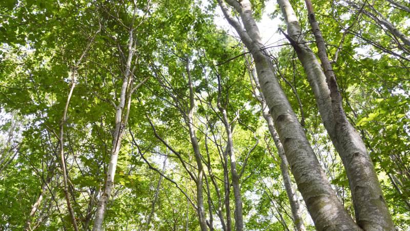EU-Kommissionen har nu offentliggjort sit udspil til en ny skovstrategi, der løber frem mod 2030, hvor bæredygtig skovdrift skal fremmes. Foto: Camilla Bønløkke
