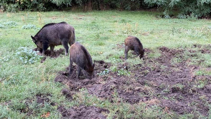 Siden planen for udryddelse af vildsvin blev igangsat i januar 2018, er der nedlagt 157 vildsvin i Danmark. Arkivfoto: Per Jørgensen