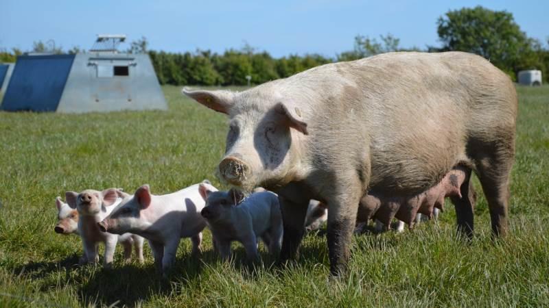Hos Friland har man især oplevet positiv omsætningsudvikling på de økologiske frilandsgrise grundet stor udenlandsk efterspørgsel. Arkivfoto: Camilla Bønløkke