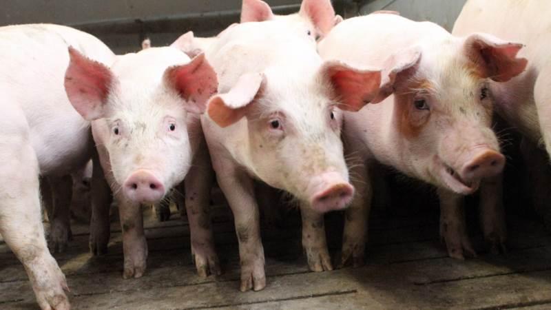 Leverandører af slagtesvin til Danish Crown kan forvente at få 9,90 kroner pr. kg for slagtesvin i vægtklassen 72 til 96,9 kg i uge 31. Foto: Lasse Ege Pedersen