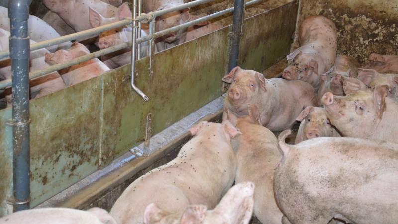 Ifølge Seges Svineproduktion er der flere veje til at reducere klimaaftrykket på svineproduktion. Arkivfotos: Camilla Bønløkke